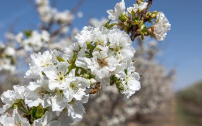 Cherry blossom bookings