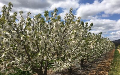 Cherry blossom for our 2021 cherries