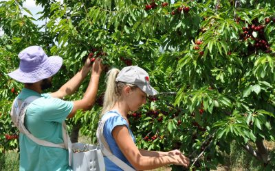 2019 Cherry Season – Applications for Work