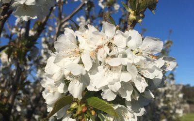 Cherry Blossom Orchard Walk